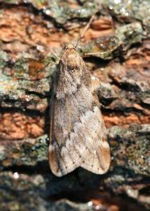 The March Moth is very common at this time of year